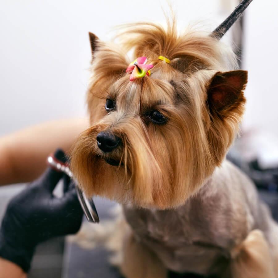 corte de pelo para perros tipo cachorro yorkshire