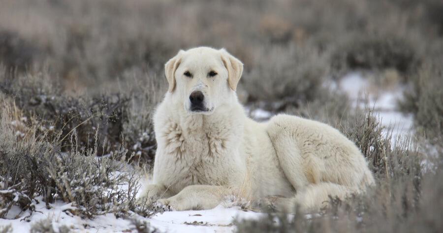 Kuvasz perro gigante