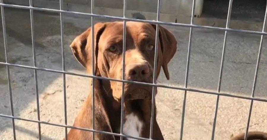 perro braco adopcion sevilla