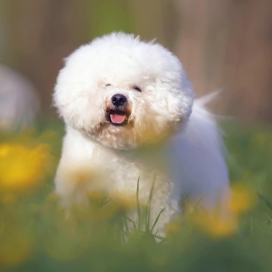 bichon frise perros de raza blanca