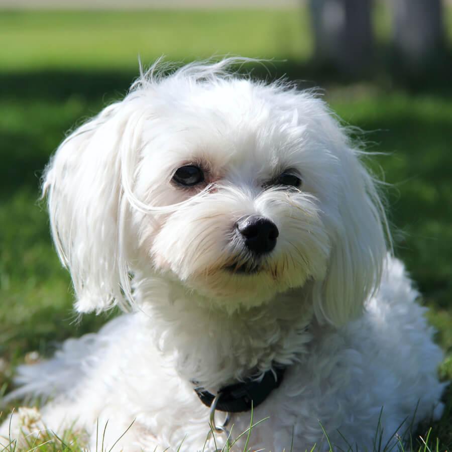 bichon maltes razas de perros blancos