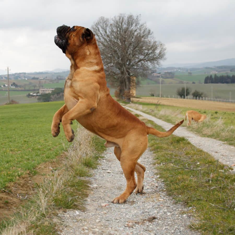 bullmastiff perro gigante salto