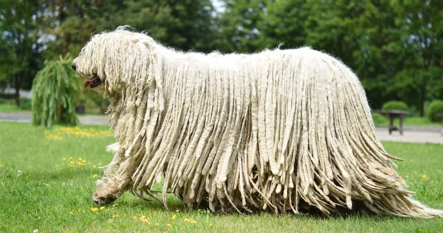 komondor razas de perros gigantes