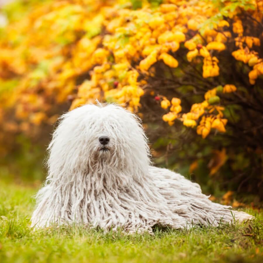 komondor perro rastas blanco