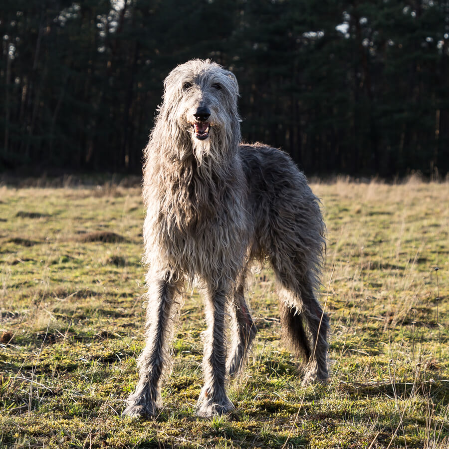 lebrel escoces perros gigantes