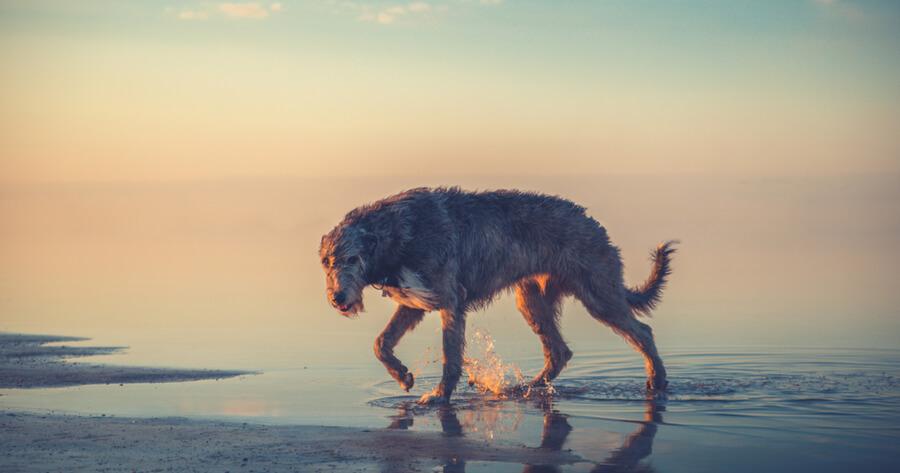 lebrel irlandes perros gigantes