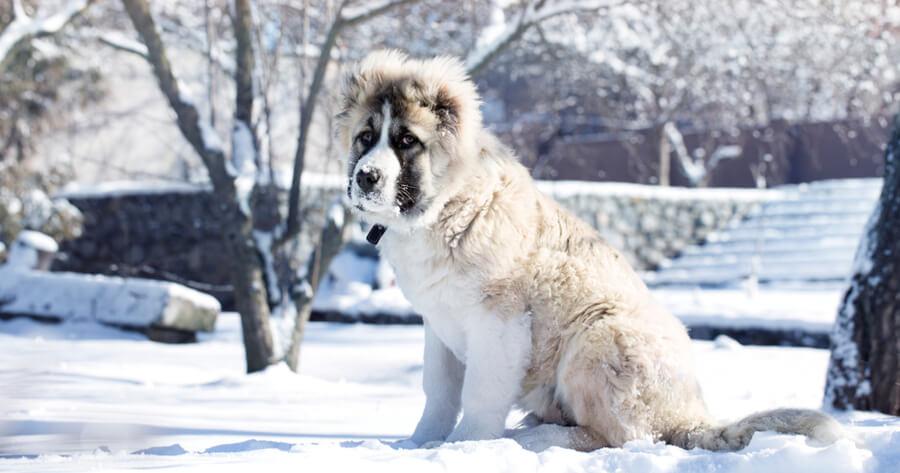 cachorro de pastor del caucaso perros gigantes