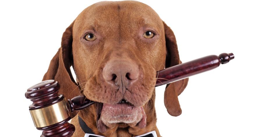 perro mazo juez