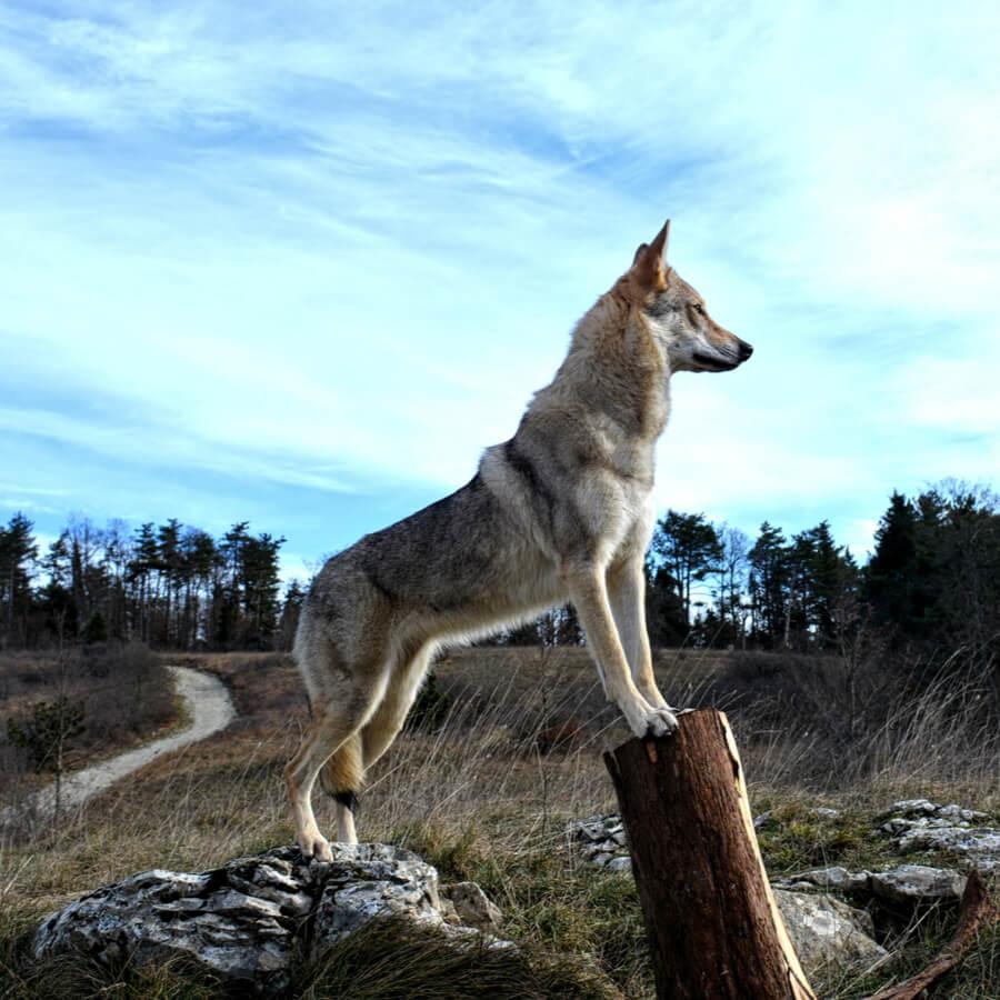 Perro lobo checoslovaco razas de perros gigantes