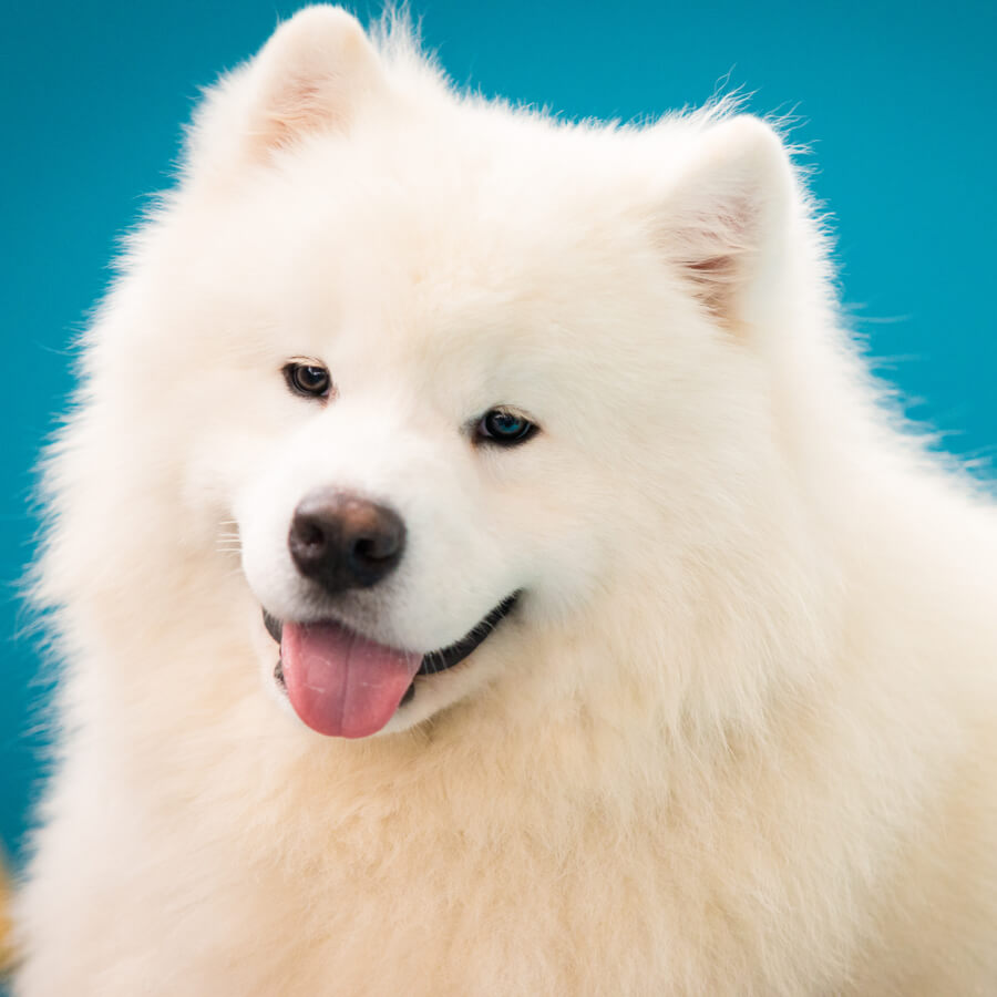 samoyedo razas de perros blancos