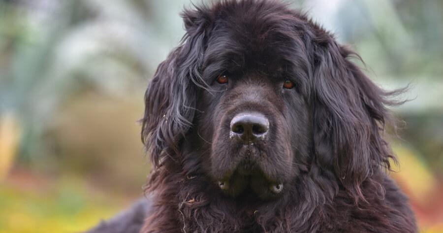 terranova perro tamaño gigante