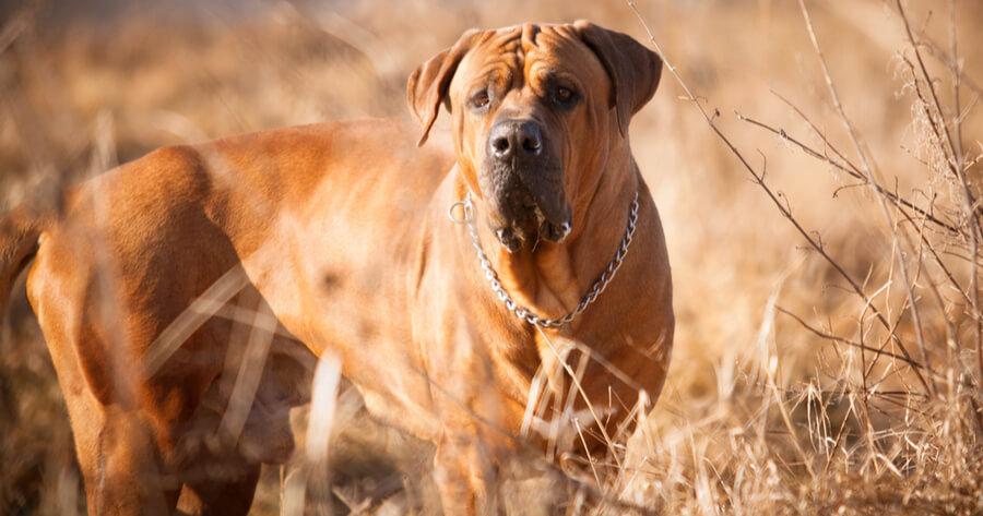 tosa inu razas de perros gigantes