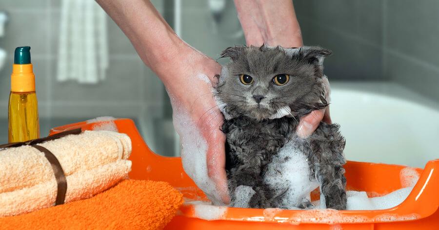 gato tomando un baño prevencion de alergia
