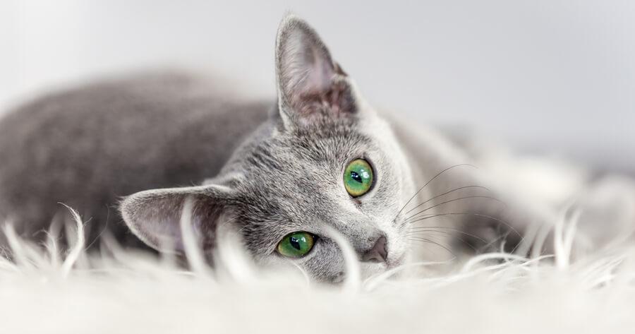 gatos que no dan alergia azul ruso ojos verdes