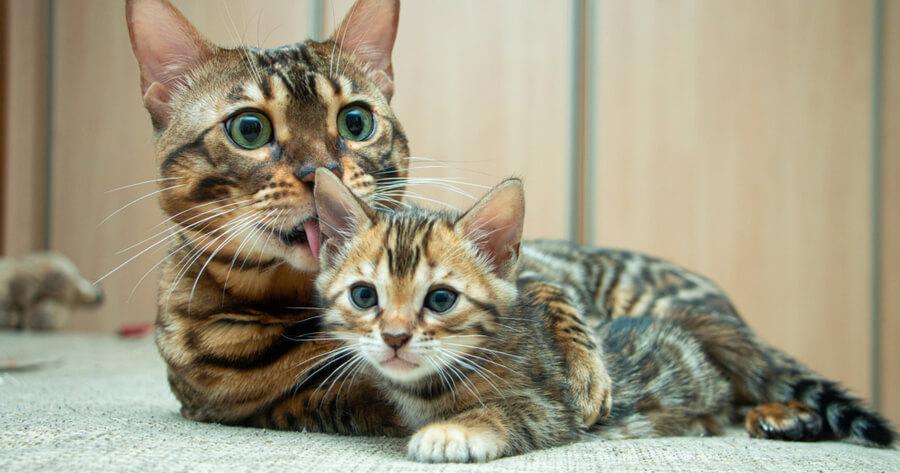 gato de bengala que no da alergia