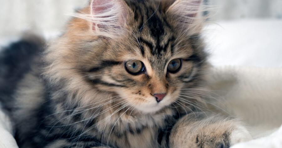gato siberiano no da alergia