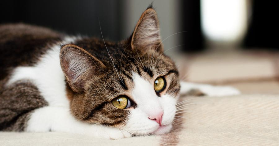 gato enfermo de gastroenteritis