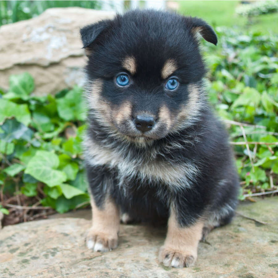 pomsky ojos azules pelaje tricolor