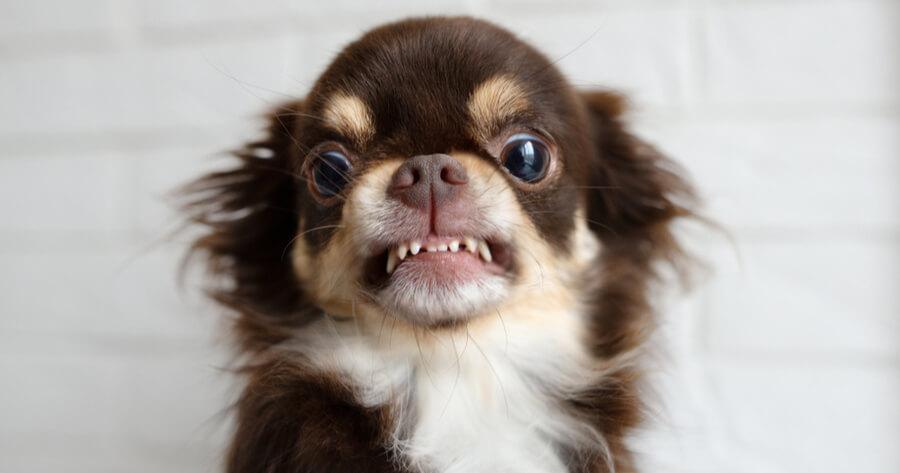 chihuahua con gesto agresivo dientes