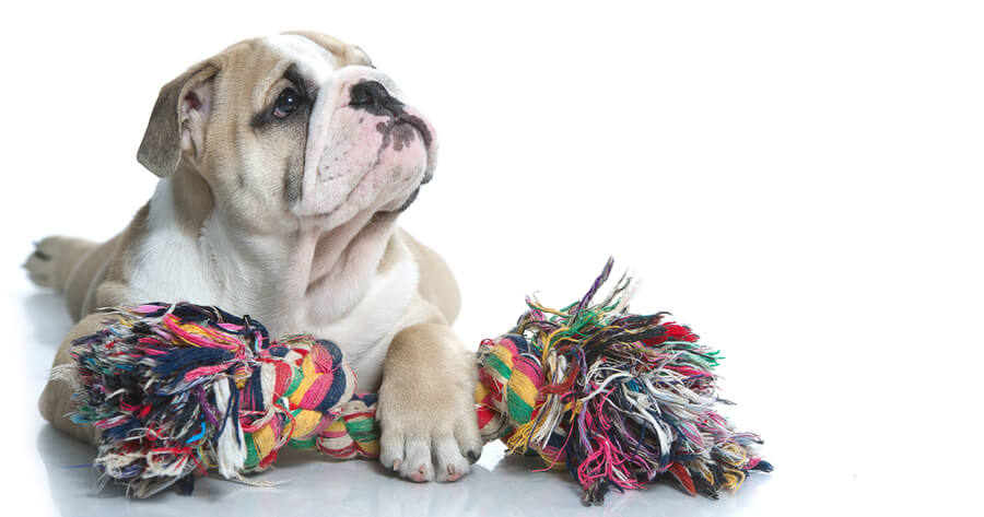 cuerda para perros bulldog