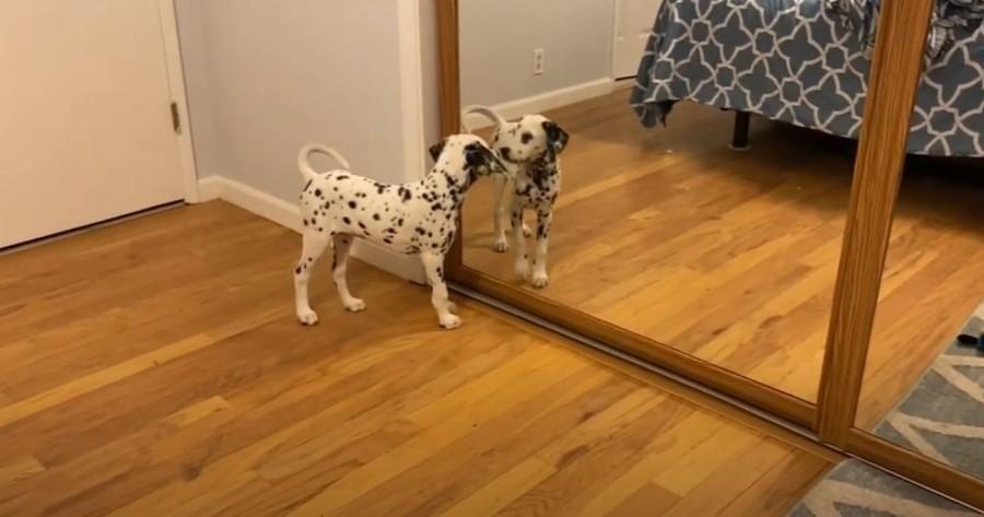 perro dalmata frente a espejo