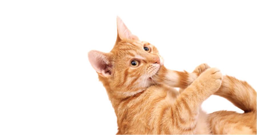 gato mordiendo su cola