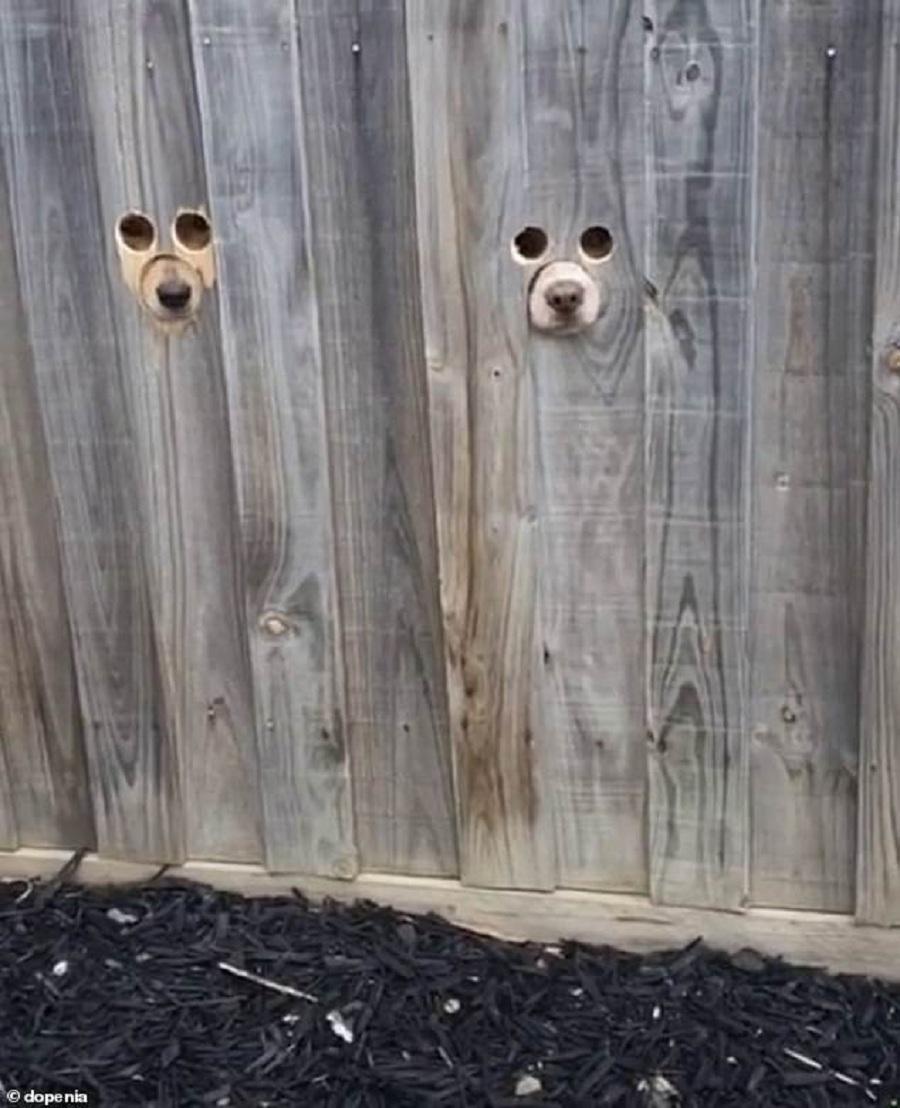 los hocicos de dos perros asomados a traves de la madera