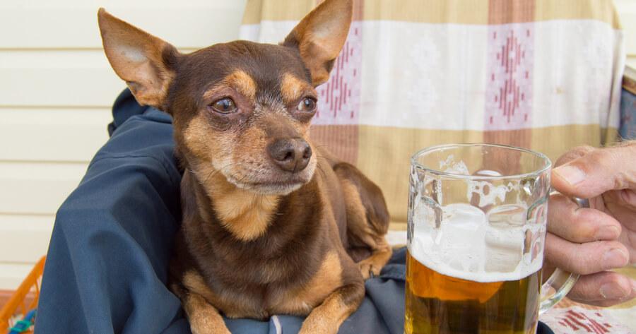 perro tomando cerveza alimento malo