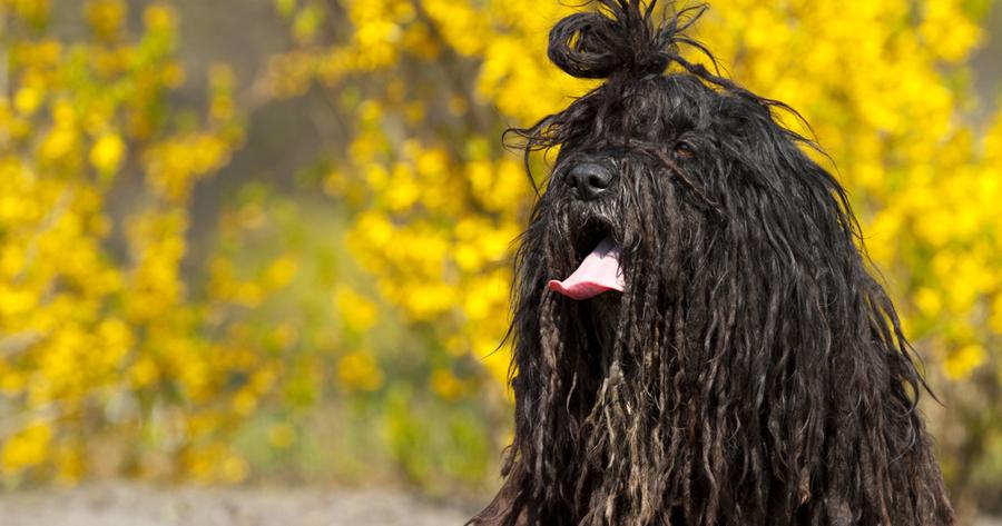 Bergamasco perro mopa