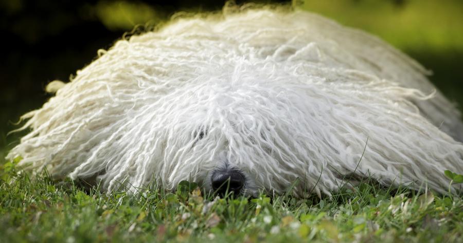 perro mopa puli