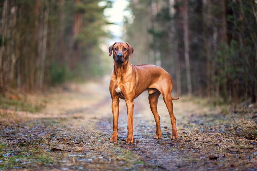 Rhodesian ridgeback perro gigante
