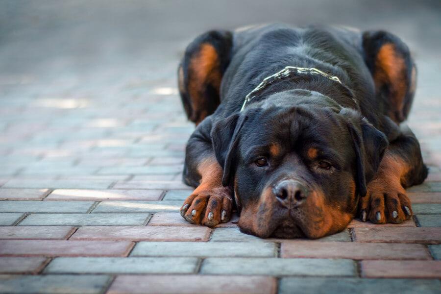 Rottweiler perro de raza gigantes
