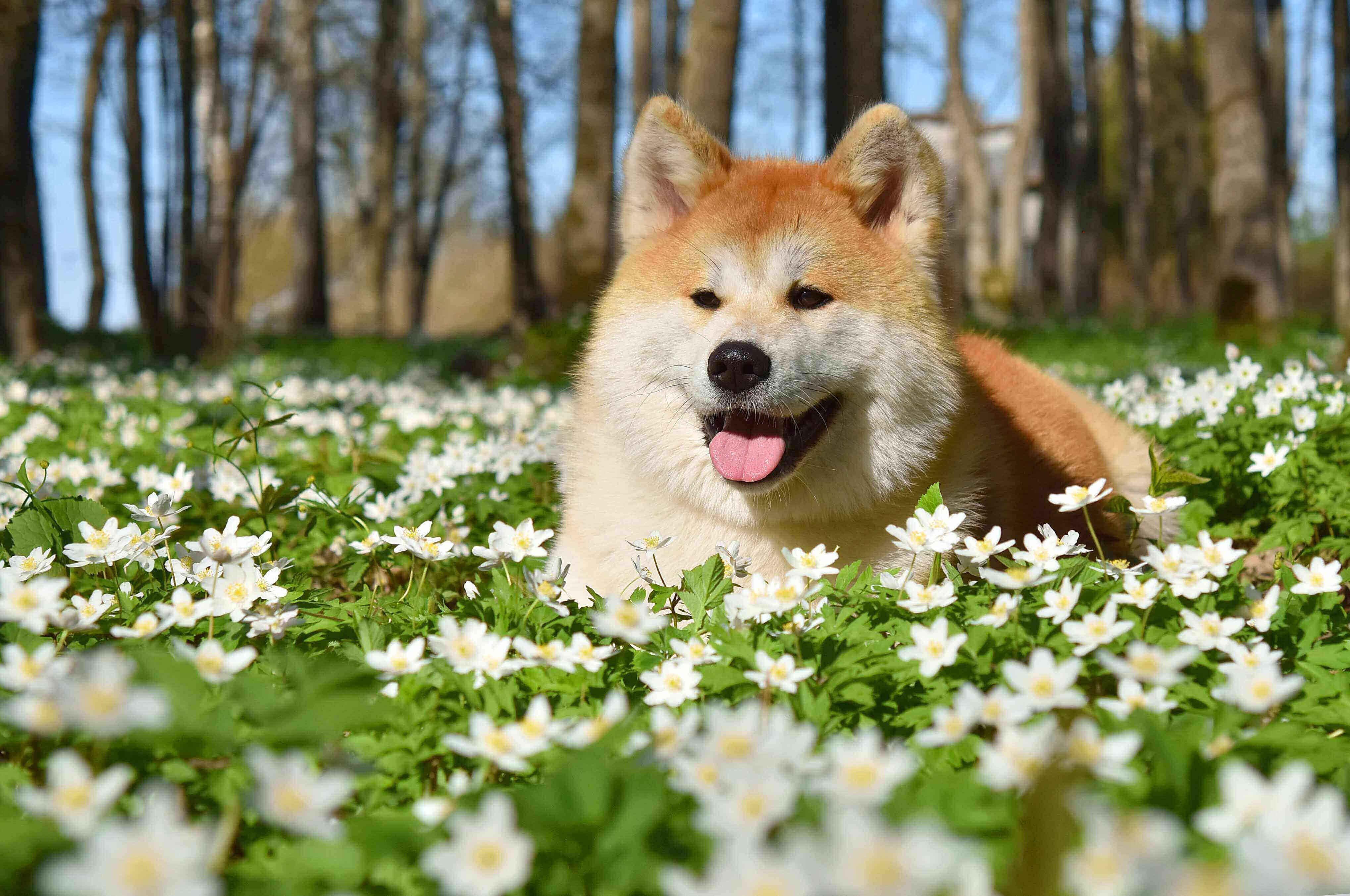 akita inu perro caro