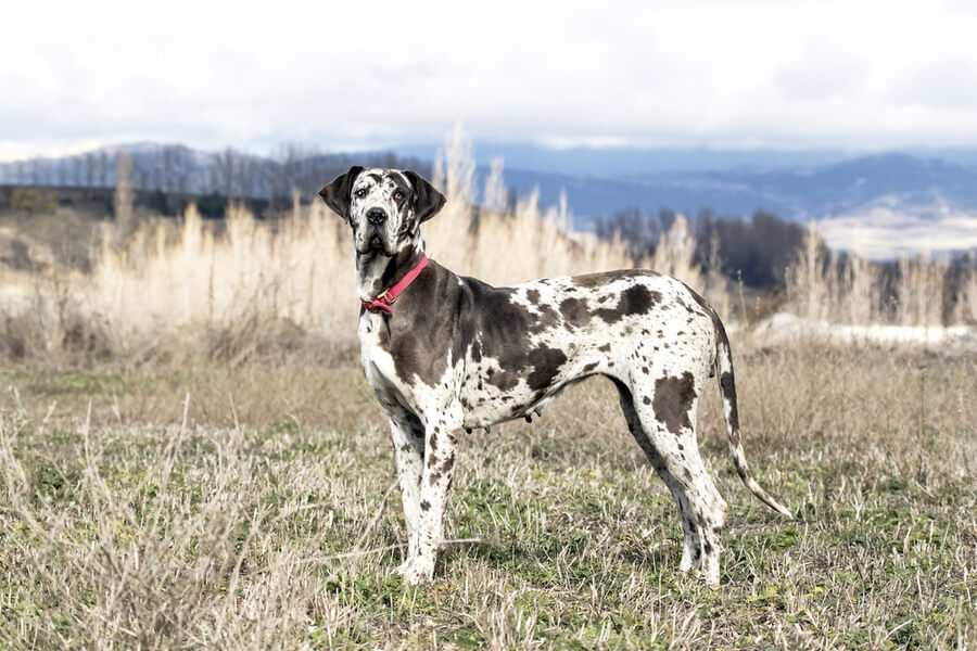 great dane perro raza gigante