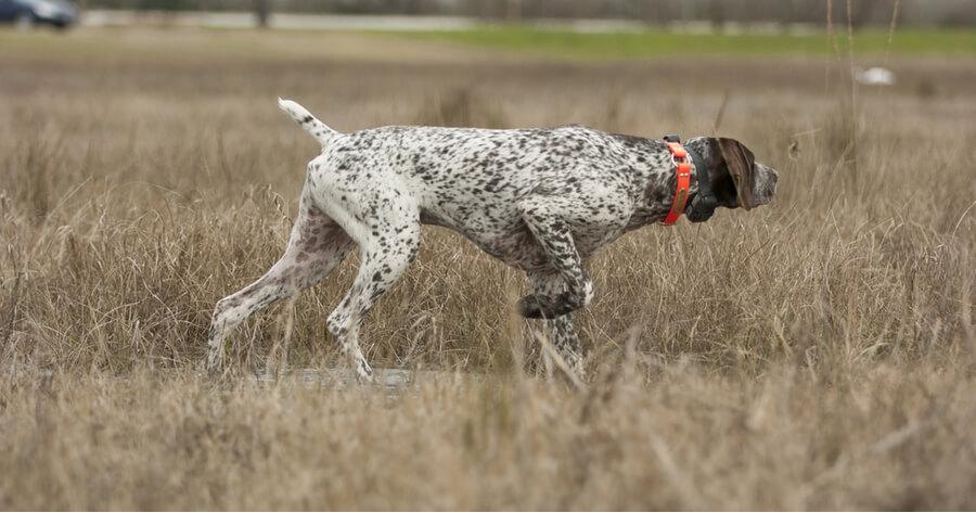 perro caza rabo amputado