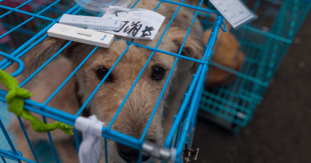 perros china festival yuli