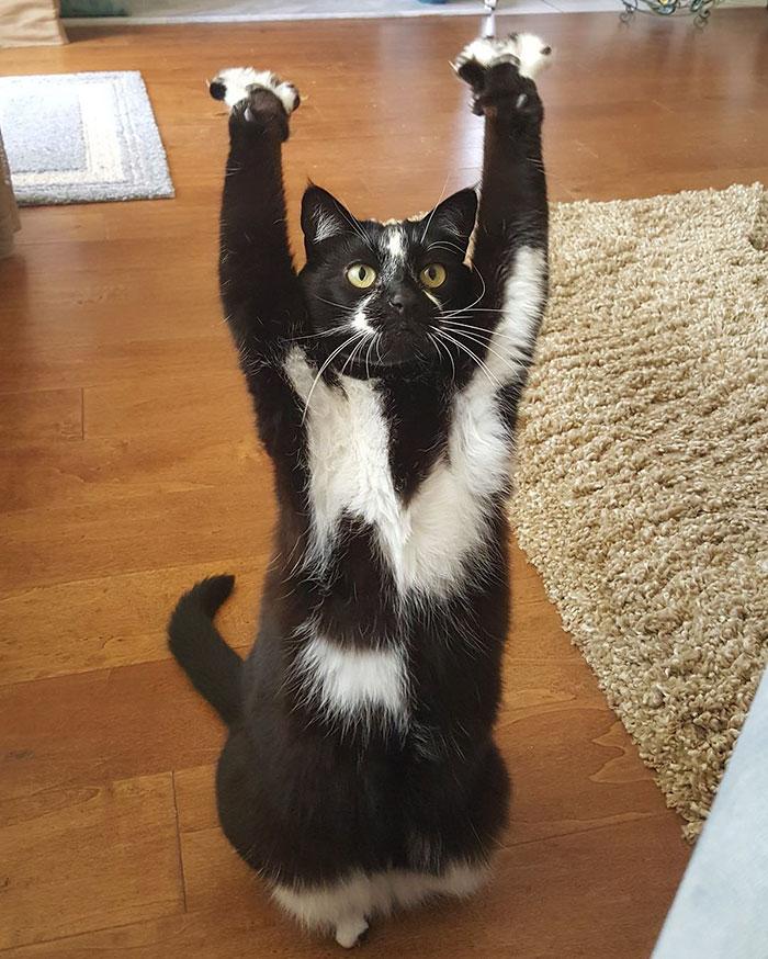 postura del gato atraco