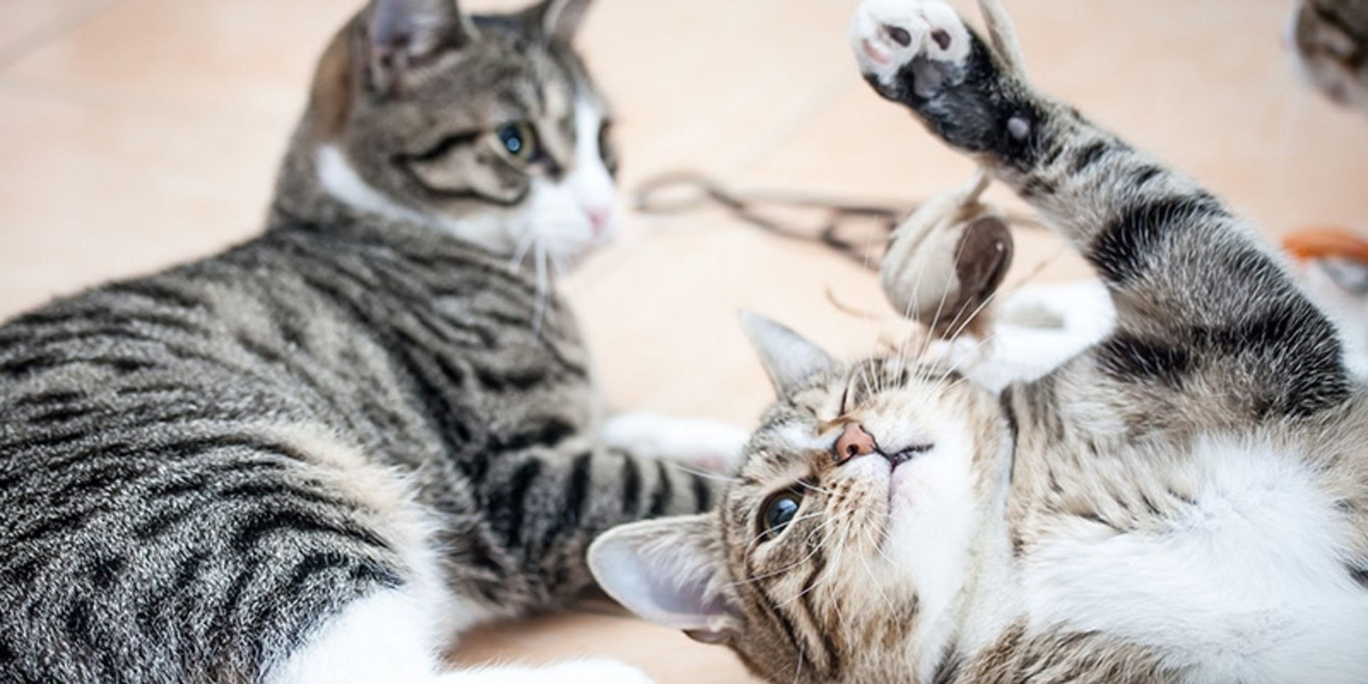 postura gato loco sin cabeza