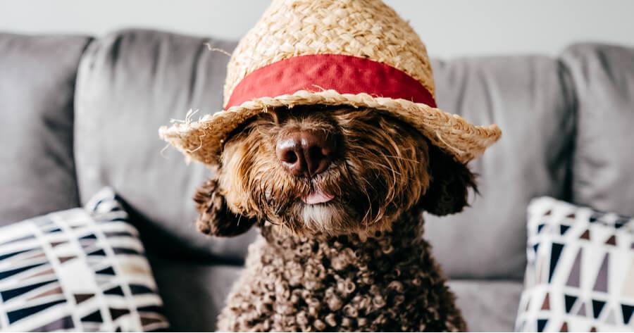 perro de agua espanol con un sombrero