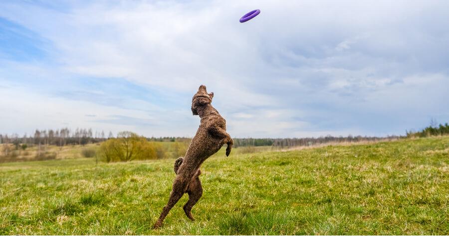 perro de agua espanol jugando en el campo
