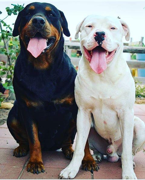 dogo y rottweiler