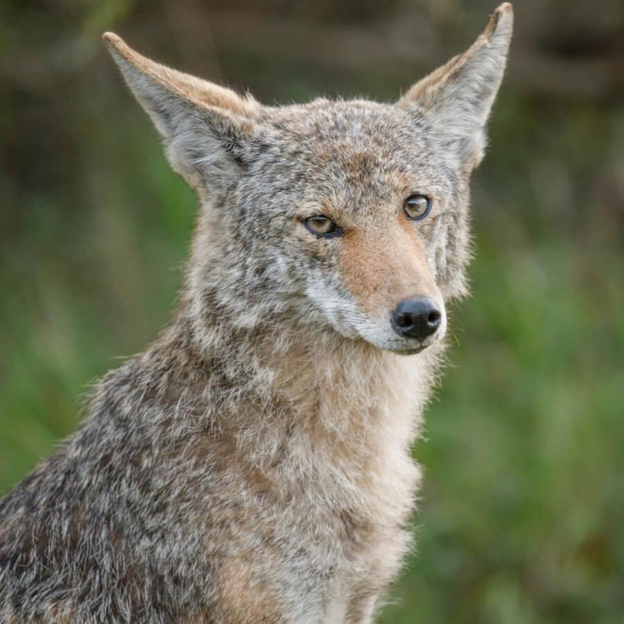 foto coyote