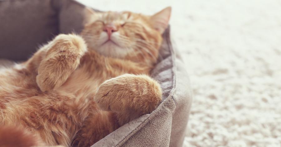 gato aletargado