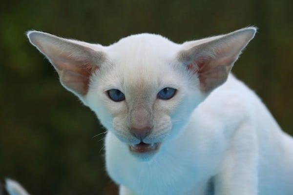 gato blanco agresivo