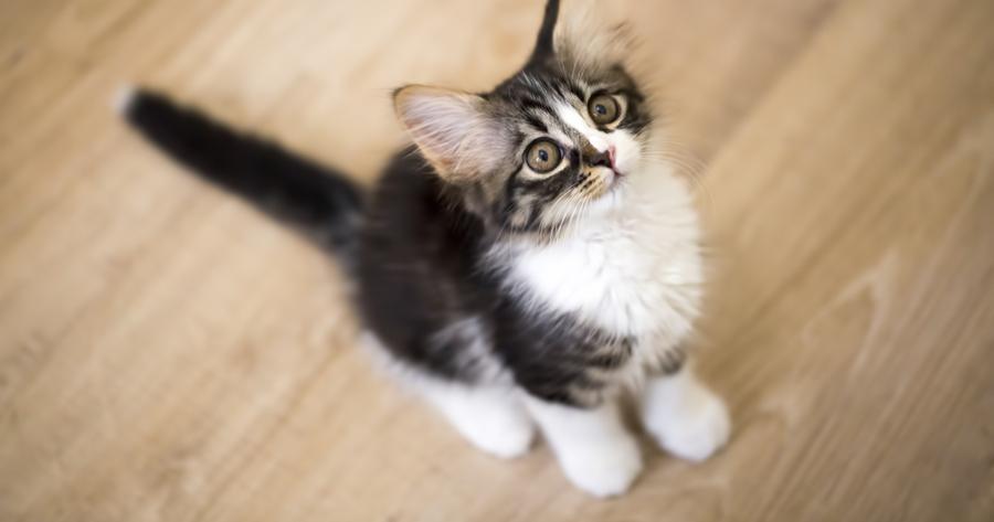 gato mirando a su dueño