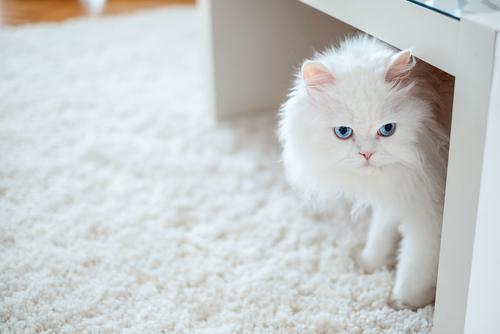 gato persa blanco ojos azules