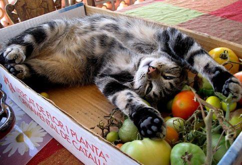 gato vegano sobre una caja de fruta