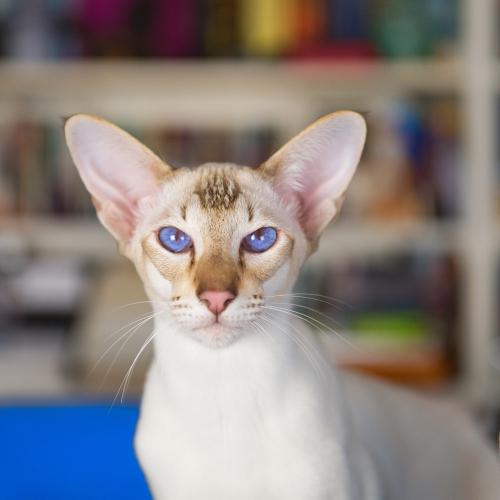 gato oriental blanco ojos azules