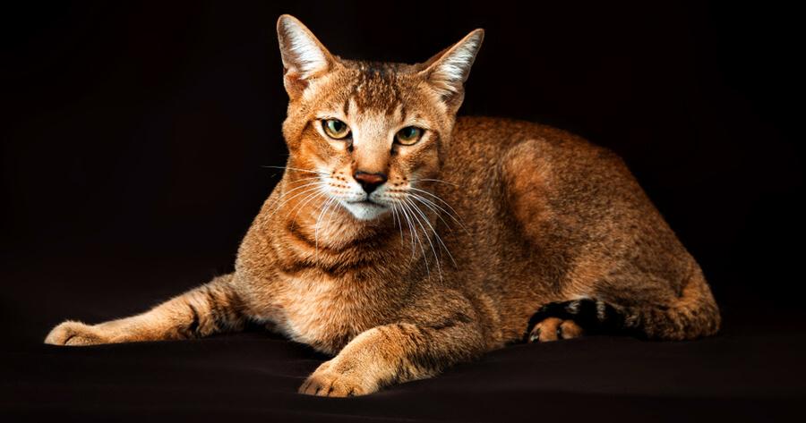 Chausie raza gato gigante