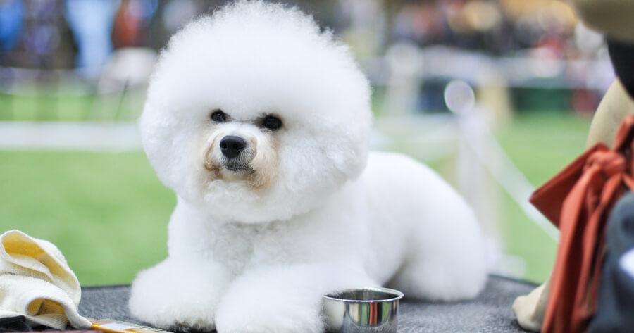 bichon frise razas perro limpias
